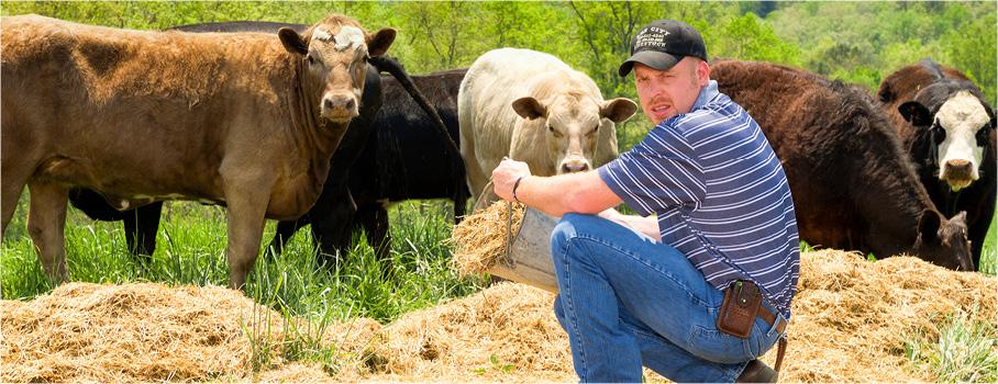 Man with bucket of hay, feeding cattle.